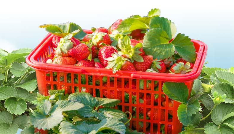 99草莓采摘活动-_15.jpg